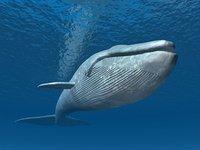 Schwertwale schreien mit besonders langen Rufen gegen den immer lauter werdenden Motorenlärm von Walbeobachtungsbooten an.