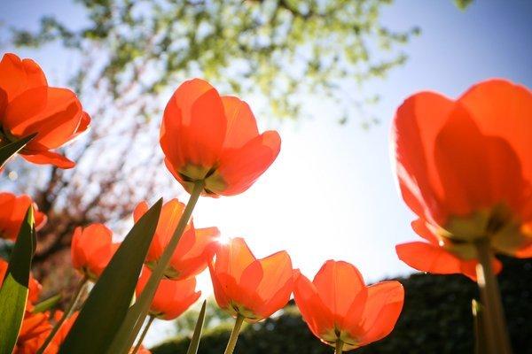 rubrik-partner-picjumbo-com-img-8687-tulips-from-below-by-victor-hanacek